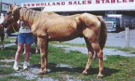 Palomino gelding. Ribs visible. Spine visible. Shoulder accentuated.