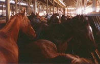 Horses destined for slaughter are packed into an overcrowded pen at a horse auction.