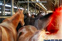 Horses destined for slaughter in the now closed CT slaughterhouse, Am Fram's pen at New Holland.
