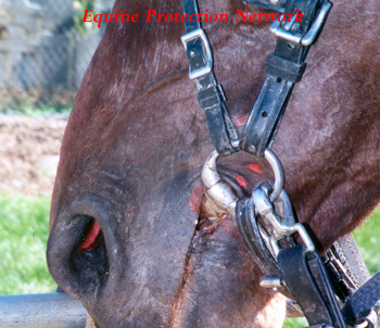 Bay Standardbred with injuries to his mouth caused by an ill fitting bridle and/or rough handed driver.
