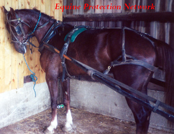 Amish Saddlebred tied tightly for several hours. Biting flies that cannot br reached by his tail or removed by stamping.
