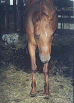 lactating chestnut Arab type mare stands in filth in the classic foundered stance.
