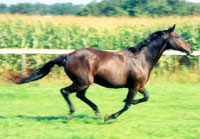 Codieco gallops free in the EPN Sanctuary Program, safe from horse slaughter.
