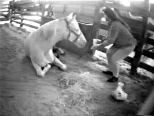 Severely foundered palomino horse is tended to by bystander.