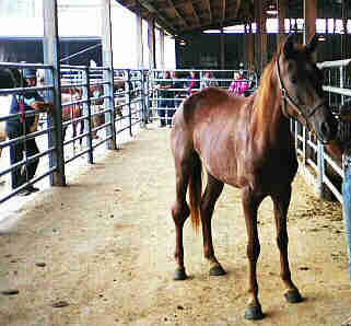 Disabled filly stands in alleyway at New Holland Sales Stables after PA State Police take horse into custody.
