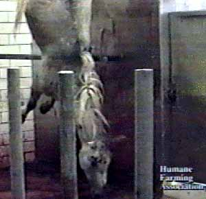 Horse hangs upside down after being hit repeatedly in the head with a four inch nail. His throat is about to be cut.