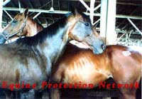 Two Thoroughbreds purchased for slaughter in the killer pen at a horse auction