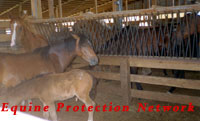Pony mare and foal await their fate at horse auction.