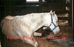palomino gelding spotted lying in the