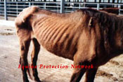 Mare that sold for $10.00. Hope died 10 days later while under a veterinarian's care. The option of sending her to slaughter did not prevent her owners from starving her.